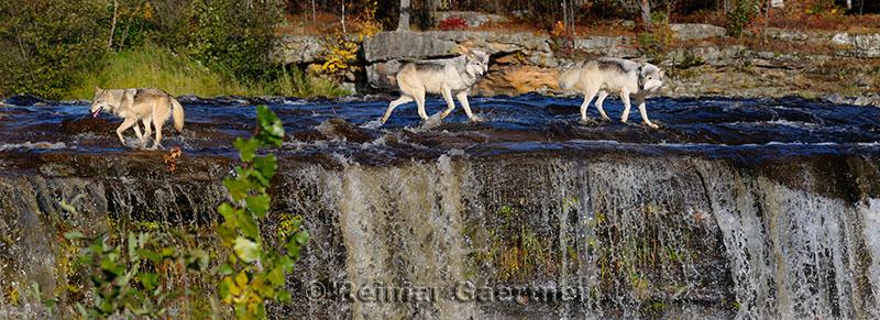 180 Kettle River Wolves 5.jpg