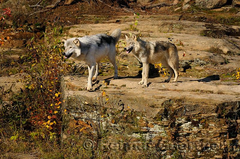 180 Kettle River Wolves 10.jpg
