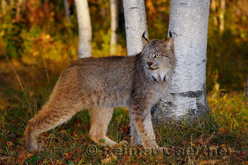 181 Lynx 5.jpg