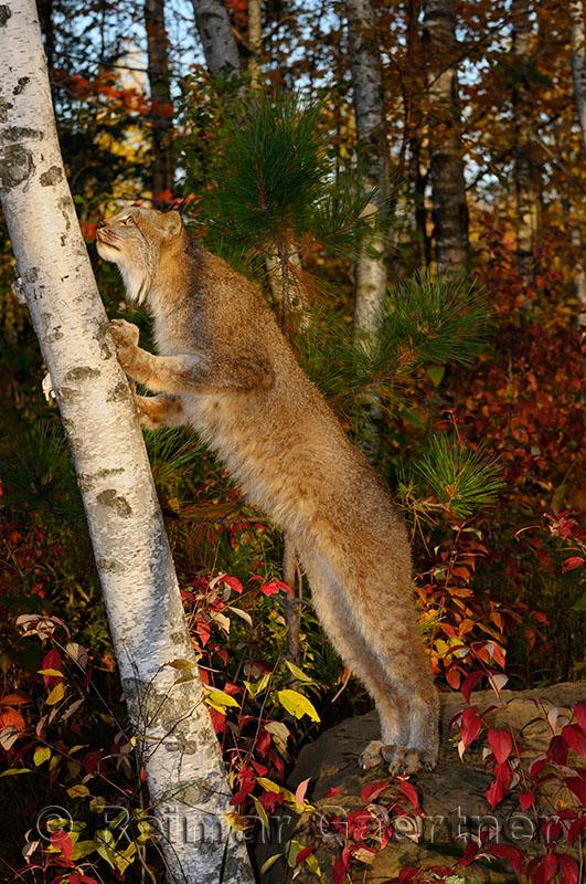 181 Lynx 15.jpg