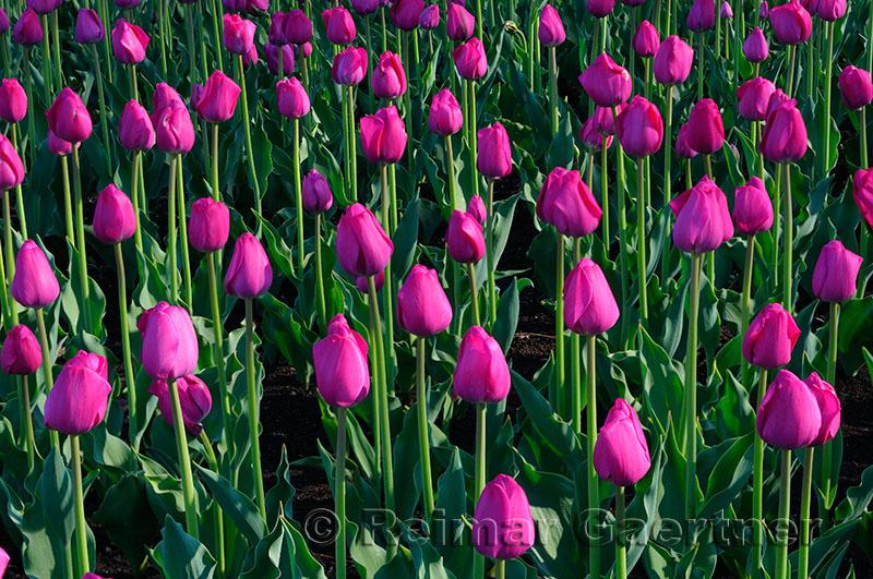 199 Attila Tulips.jpg