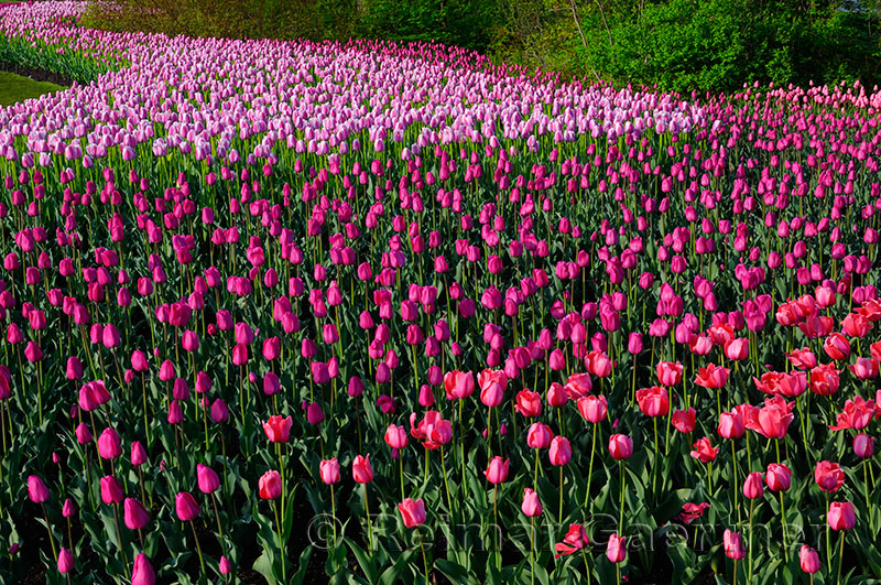 199 Barcelona and Ollioules Tulip bed 1.jpg