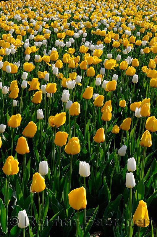 199 Golden Apeldoorn and White Dream Tulips 2.jpg