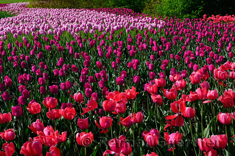 199 Pink Purple Red Tulips 1.jpg