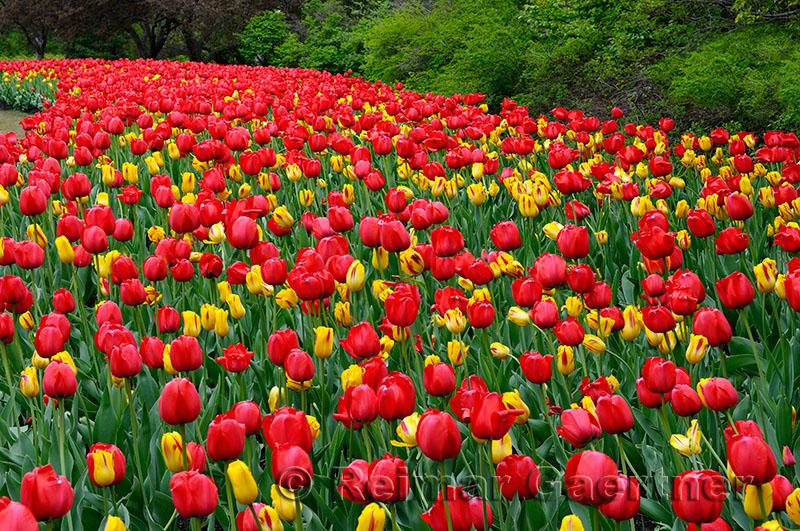 199 Red Impression and Washington Tulips 2.jpg