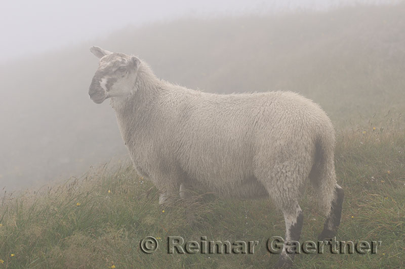 Young Scottish Blackfaced Sheep in fog at Cape St. Marys Ecological Reserve Newfoundland