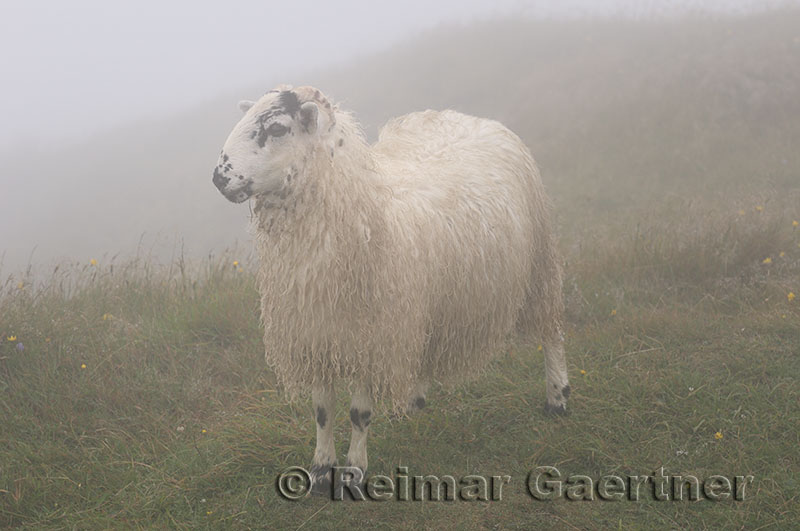 Scottish Blackfaced Sheep in fog at cliff of Cape St. Marys Ecological Reserve Newfoundland