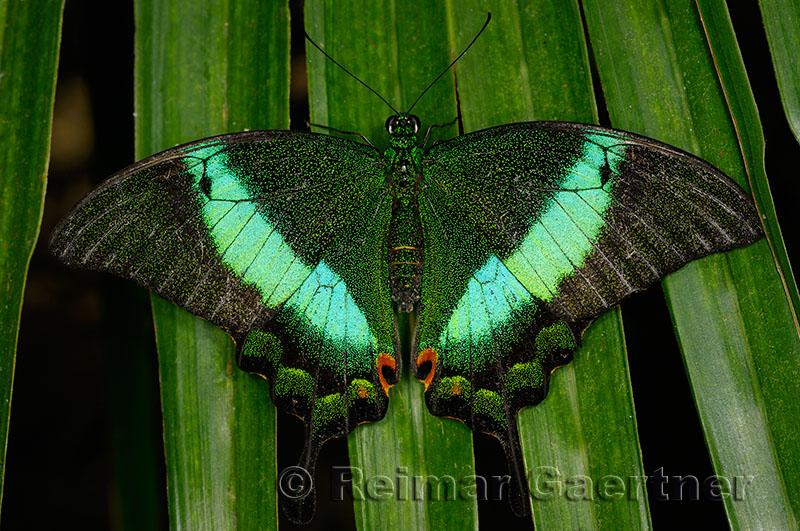 234 Banded Peacock 1.jpg