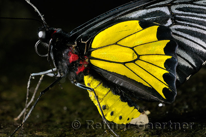 234 Cairns Birdwing 2.jpg