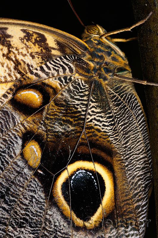 234 Owl Butterfly.jpg