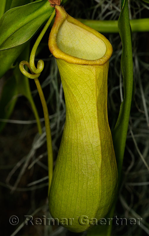 234 Pitcher Plant Nepenthes 1.jpg