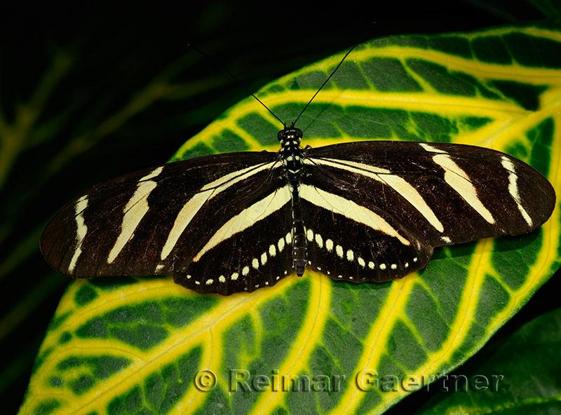 234 Zebra Longwing 2.jpg