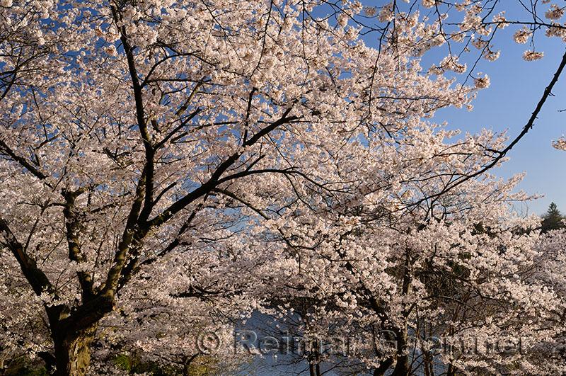 235 Cherry blossom lake.jpg