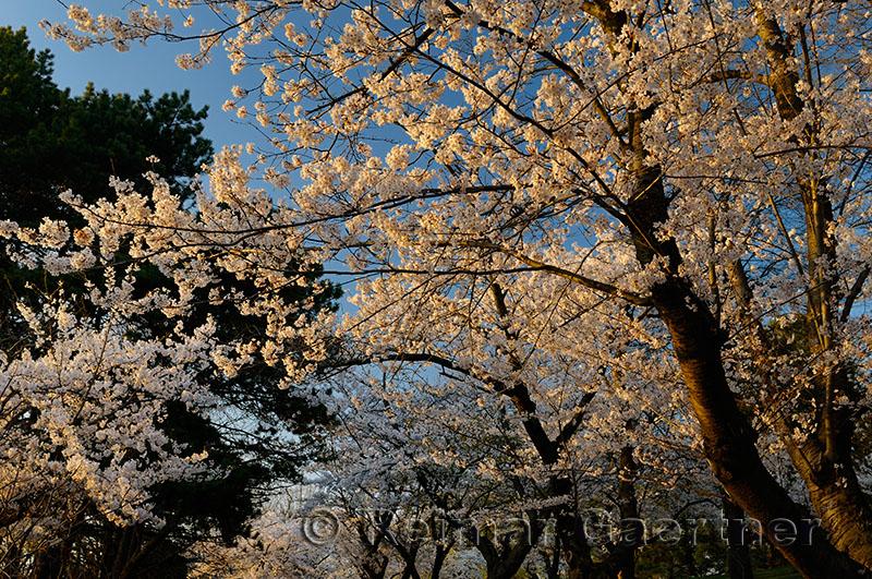 235 Cherry Blossom sunset 3.jpg