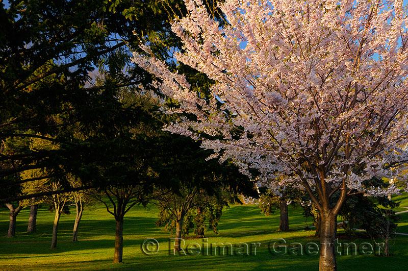 235 Cherry tree in park.jpg