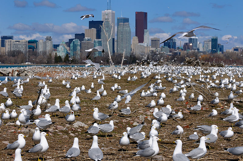164 Gull Mating Party.jpg