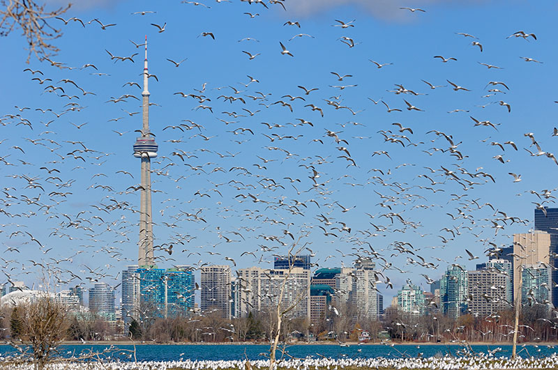 164 Ring Billed Gull colony Toronto 1.jpg