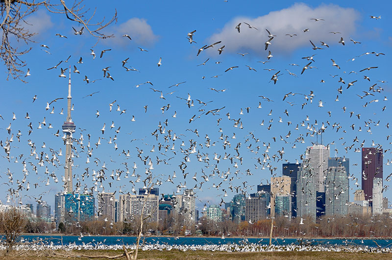 164 Ring Billed Gull colony Toronto 2.jpg