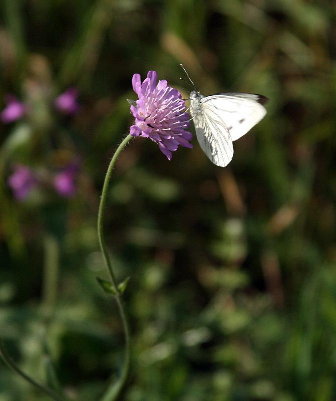 le papillon blanc.