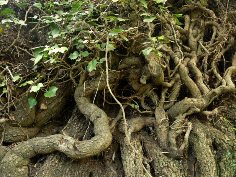 olive tree roots