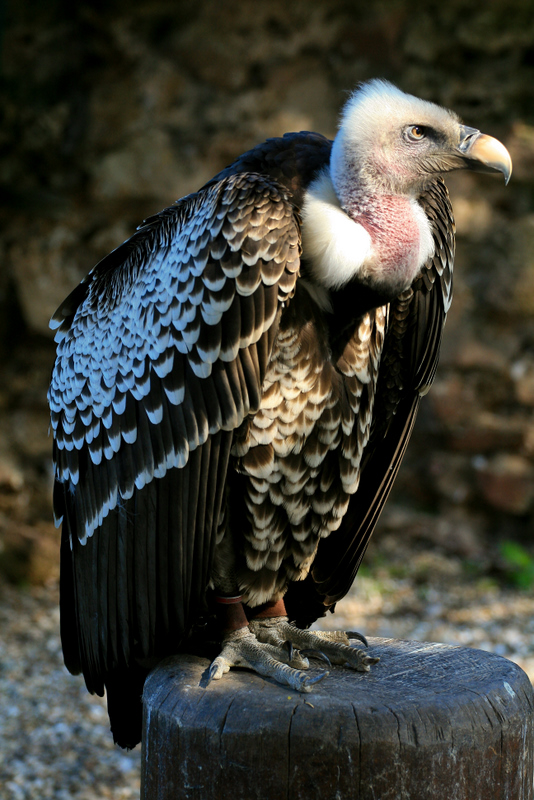 vautour noir
