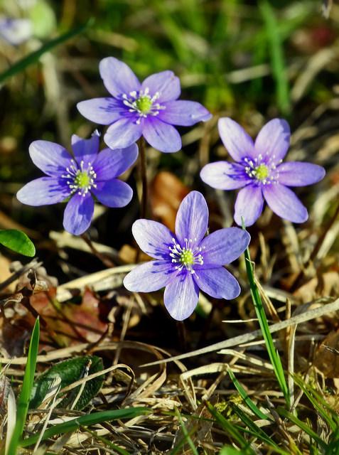 modest blue flowers