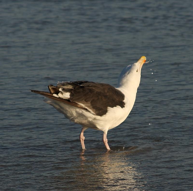 Thirsty gull