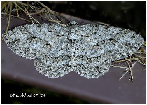 <h5><big>Small Engrailed Moth<br></big><em>Ectropis crepuscularia #6597 </h5></em>
