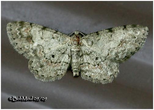 <h5><big>Texas Gray Moth<br></big><em>Glenoides texanaria #6443</h5></em>