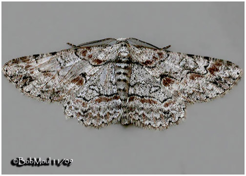<h5><big>Brown-shaded Gray Moth<br></big><em>Iridopsis defectaria #6586</h5></em>