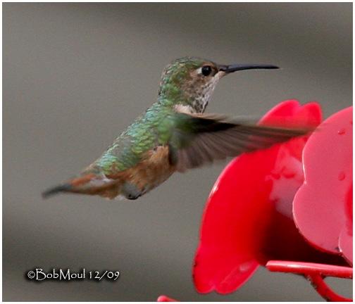 Allens Hummingbird-Female