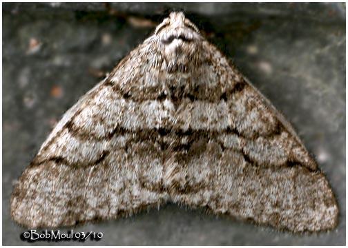 <h5><big><em>Half-wing Moth-<br></big><em>Phigalia titea #6658</h5></em></h5>