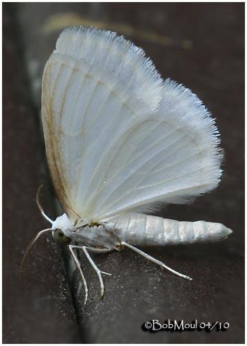 <h5><big>White Spring Moth-<br></big><em>Lomographa vestaliata #6667</h5></em>