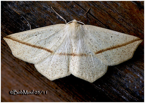 <h5><big>Yellow Slant Line Moth<br></big><em>Tetracis crocallata #6963</h5></em>