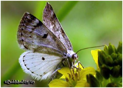 <h5><big>Bluish Spring Moth-<br></big><em>Lomographa semiclarata #6666</h5></em>