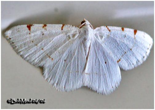 <h5><big>Lesser Maple Spanworm Moth<br></big><em>Macaria pustularia #6273</h5></em>