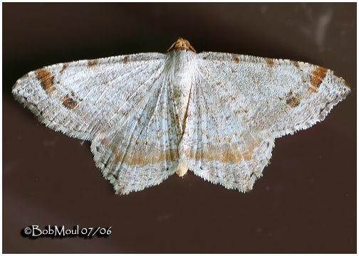 <h5><big>Promiscuous Angle Moth<br></big><em>Macaria promiscuata #6331</h5></em>