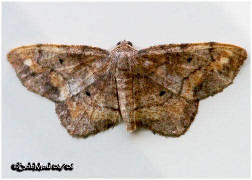 <h5><big>One-spotted Variant Moth<br></big><em>Hypagyrtis unipunctata #6654</h5></em>