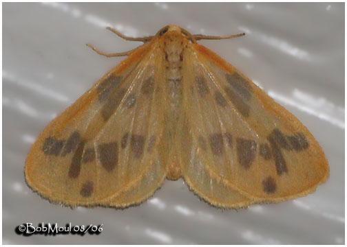 <h5><big>The Begger Moth<br></big><em>Eubaphe mendica #7440</h5></em>