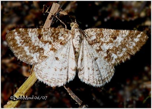 <h5><big>Powder Moth<br></big><em>Eufidonia notataria #6638</h5></em>
