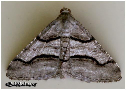 <h5><big>Curved Line Angle Moth<br></big><em>Macaria continuata #6362</h5></em>