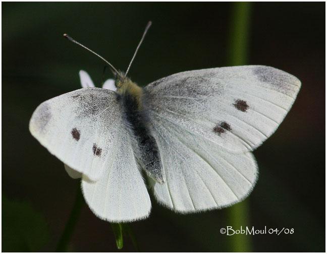 Cabbage White-Female
