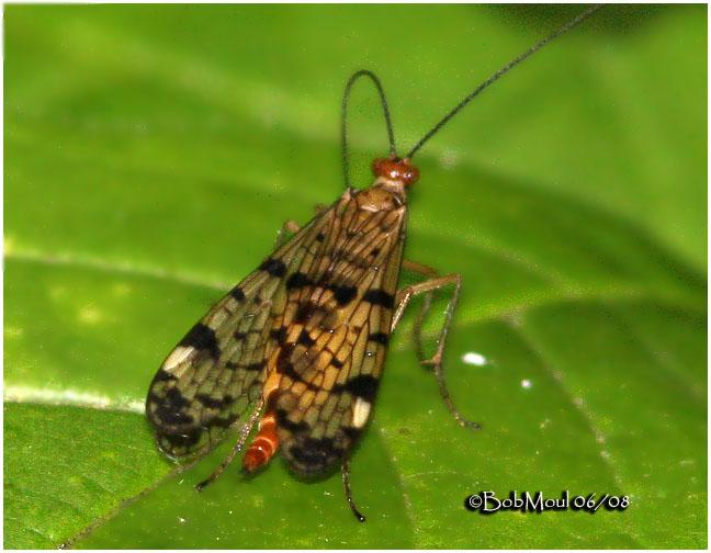 Scorpionfly-Female