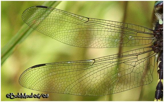 Brown Spiketail