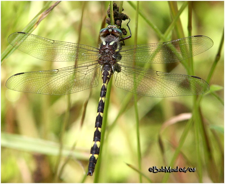 Brown Spiketail-Adult