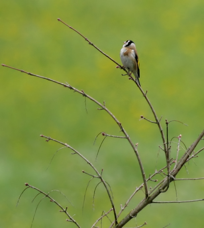 Distelfink / European Goldfinch
