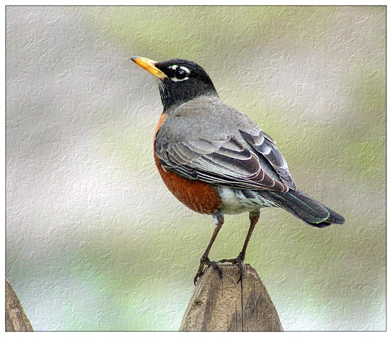 Stately Robin