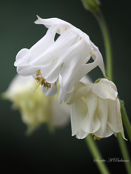 White Colmbine