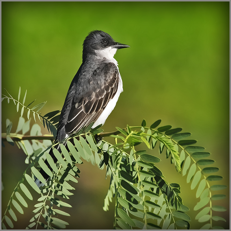 Kingbird Poem