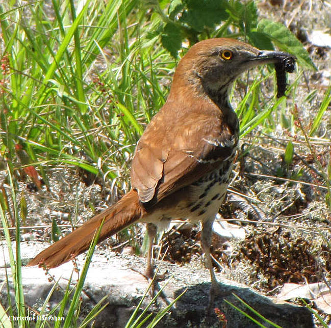 Brown thrasher carrying food